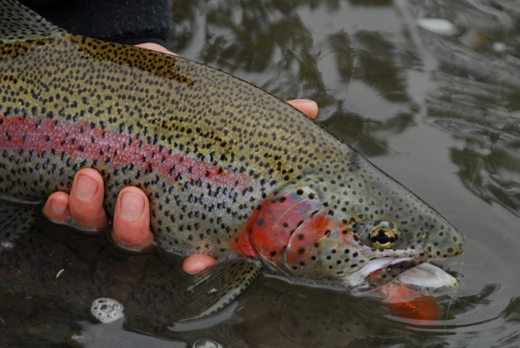 Rainbow Trout   Alaskan Fish   Alaska Fly Fishing Goods