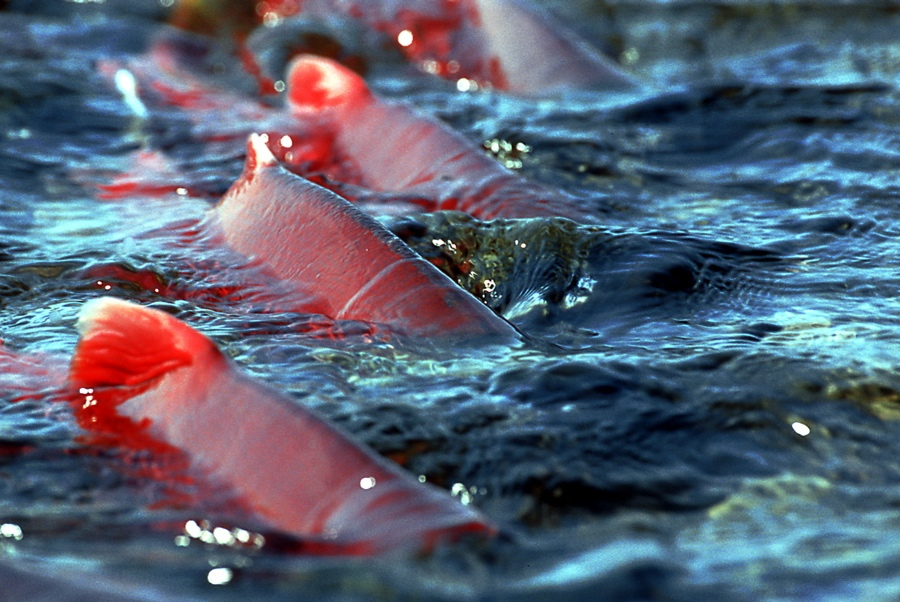 Returning  Sockeye Salmon, Mission Lodge