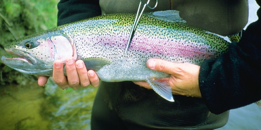 Rainbow Trout, Mission Lodge