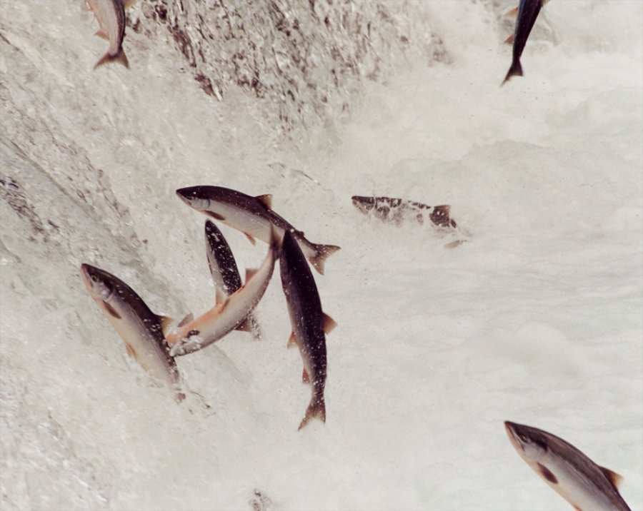 Sockeye making a leap of faith at Brooks Falls, Katmai National Park