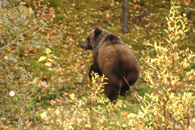 brown bear leaving