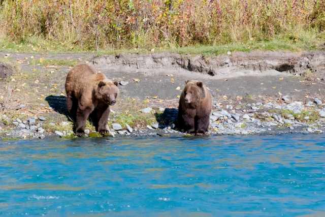 brown bears on shore