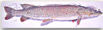northern-pike.jpg