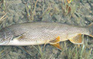 lake trout 2012